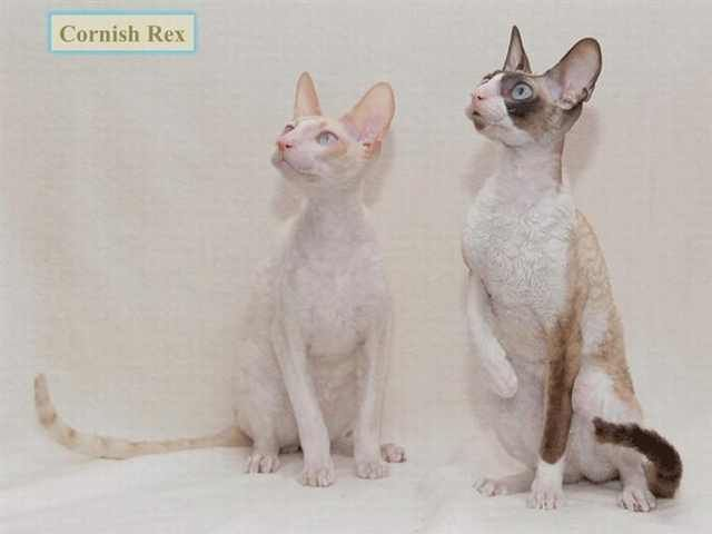 Your Ultimate Guide To All Breeds Of Cat Cat Breeds Cornish Rex Cats And Kittens
