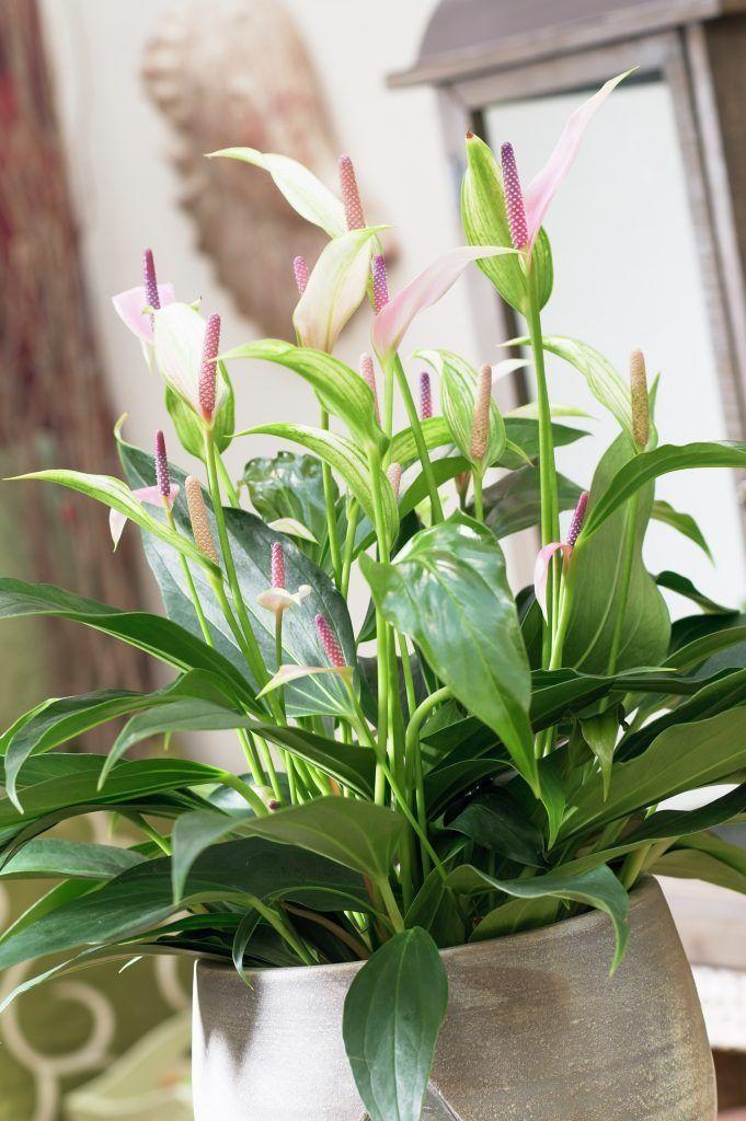 Auch In Einem Grossen Pflanzenkubel Macht Sich Die Anthurie Sehr Gut Anthurie Pflanzenfreude Pflanze Anthurium Pla Plants Flamingo Flower Planting Flowers