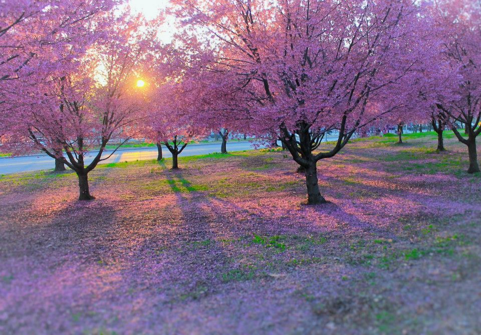 The Cherries Are Comingloop Blossom Garden Cherry Blossom Tree Blossom