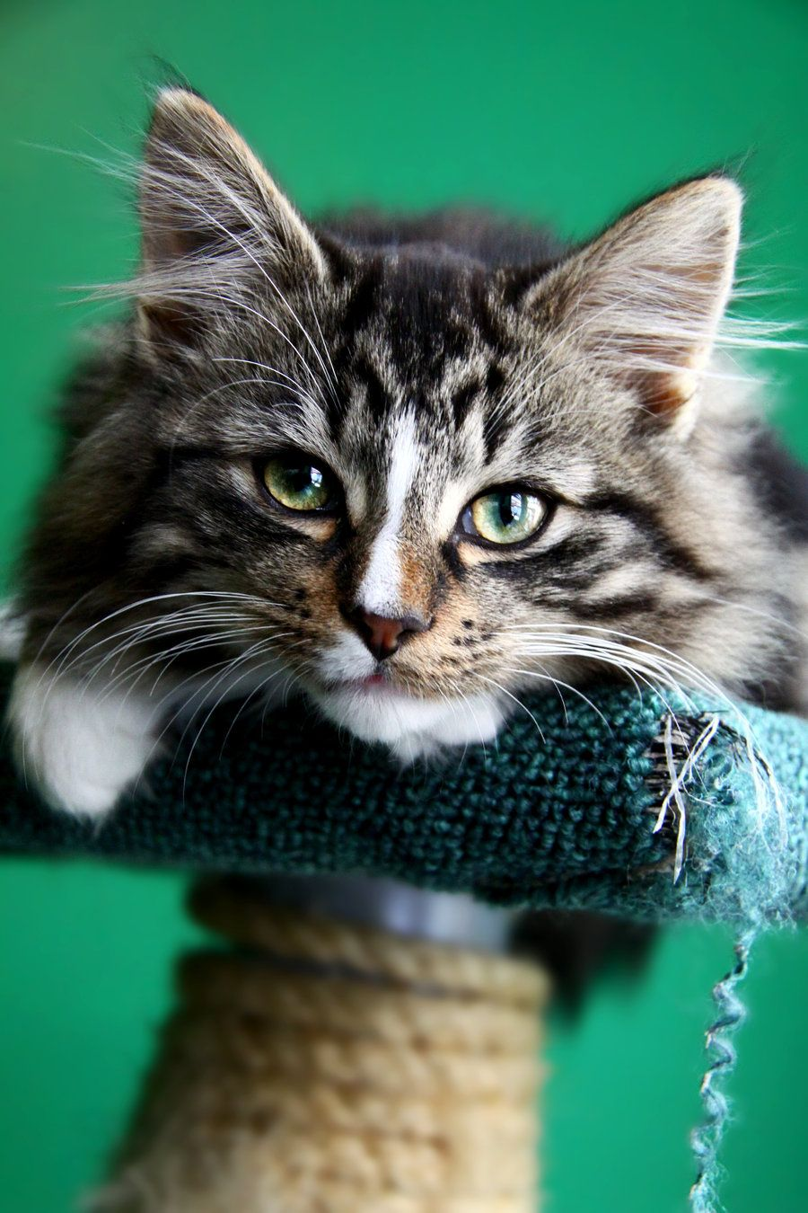 Lovely cat..looks quite a bit like my Maine Coon runt, but this is ...