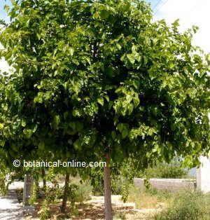 Morera se utiliza de cortavientos frutales pinterest - Como se podan los arboles frutales ...