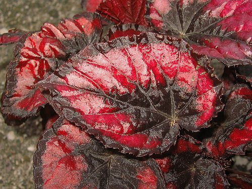 Red Kiss Rex Begonia Plant Library Pahl S Market Apple