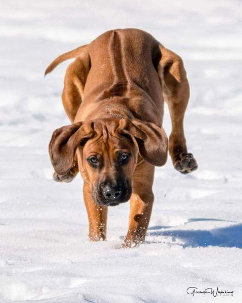 Rhodesian Ridgeback Dog Breeds Rhodesian Ridgeback Dog Bloodhound Dogs