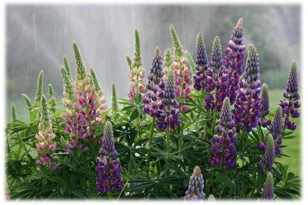 Lupína-dominanta moderných záhrad  Lupína je už dávnejšie známa záhradná rastlina, ktorá má asi 60 cm  dlhé kvety v tvare strapcov hrozna v rôznych farbách. Kvety sa objavia od mája do augusta, niekedy  vydržia až do septembra. Ak hneď odstránite odkvitnuté kvety,  zakvitne znovu. Rastliny dorastú niekedy do výšky 150 cm a pri tejto výške potrebuje rastlina podperu. Lupína dodáva do pôdy dusík, takže okrem  estetického hľadiska je tu i jej užitočnosť.