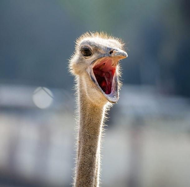 Male Ostriches can ROAR like a lion!   Tiere