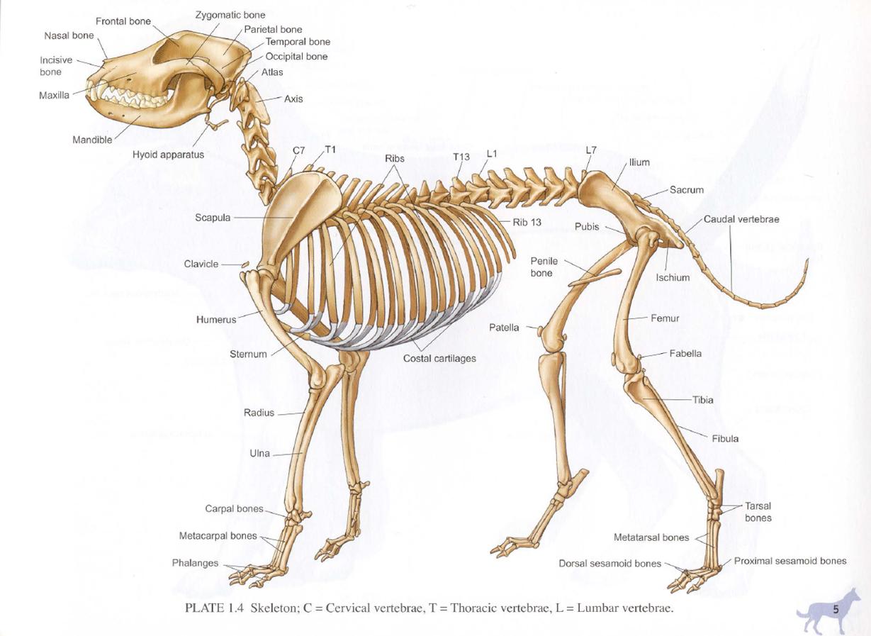 Skeletal anatomy of a dog