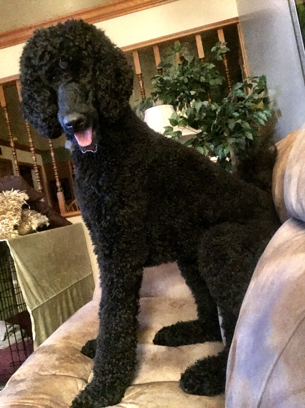 Poodle Version Of Couch Sitting