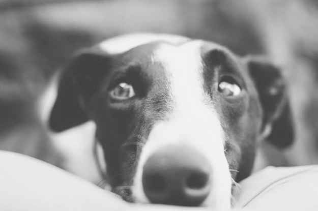 8 Reasons You Should Think About Adopting A Greyhound