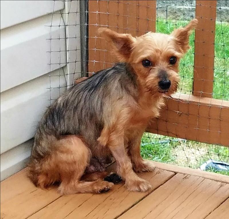 Adopt Sarah on Yorkie, Animal shelter, dog