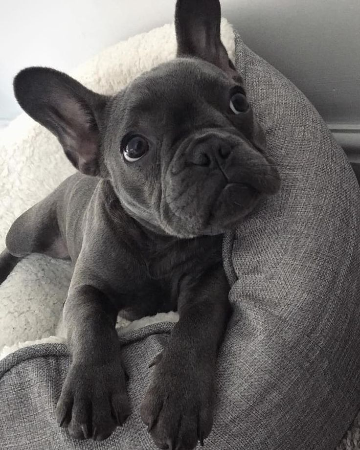 R O G U E @frenchie_rogue #cutepuppies