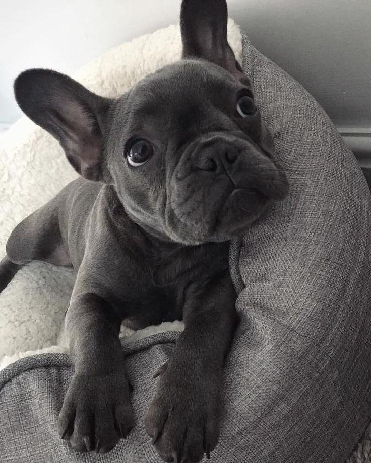 R O G U E @frenchie_rogue #cutepuppies