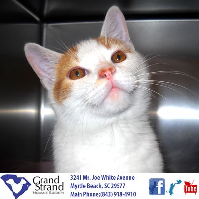 This Is Creamsicle We Believe He Was Born On 07 04 13 Creamsicle Is Such A Lover He Was Found Stuck In Front Of The Shelter Late Cat Adoption Cats Purring