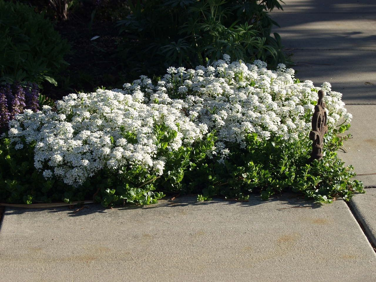 Mailbox Candytuft To Replace The Front Row Of The Asters Sempervirens Drought Tolerant Lawn And Garden