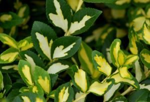 Discover Plants With Amazing Multicolored Foliage With Images