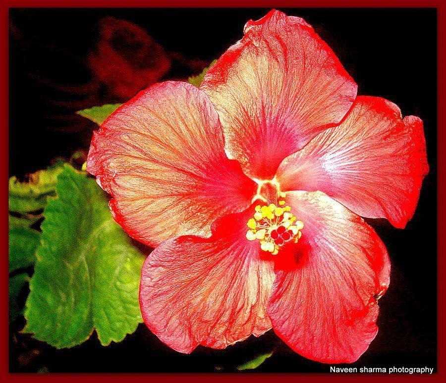 Hibiscus Grows Year Round In Kenya Hibiscus Hibiscus Beautiful Flowers Flowers