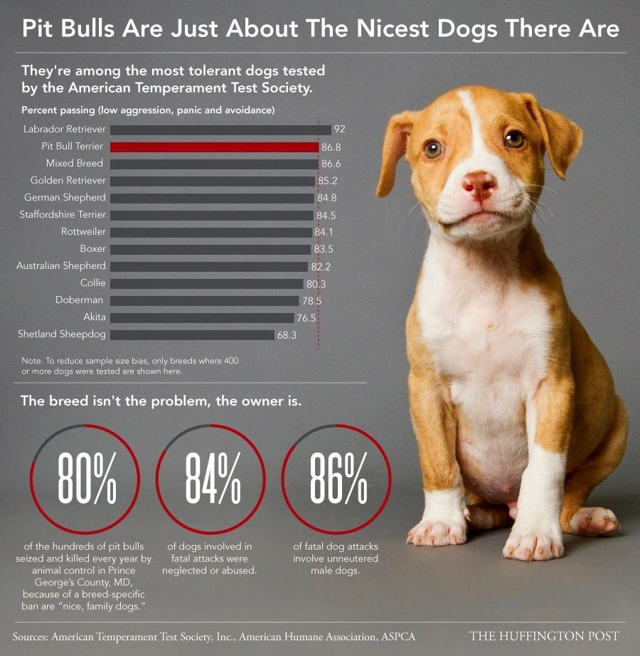 Pit Bulls Are Just About The Nicest Dogs There Are Pitbull Terrier
