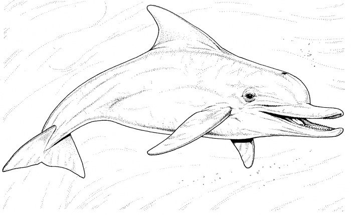 printable colouring pages free dolphin coloring pages