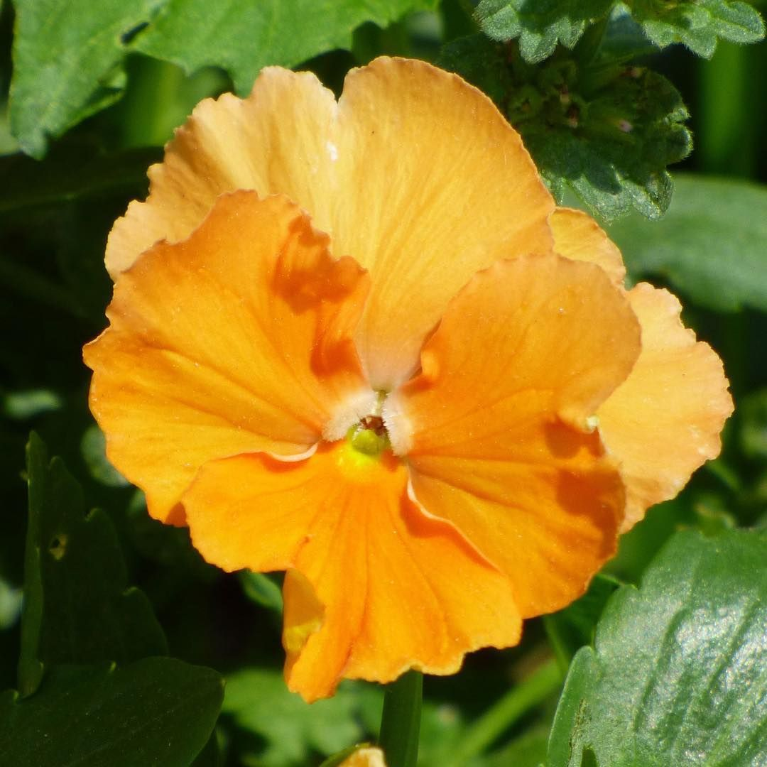 Orange pansy pansies are a great cool weather plant