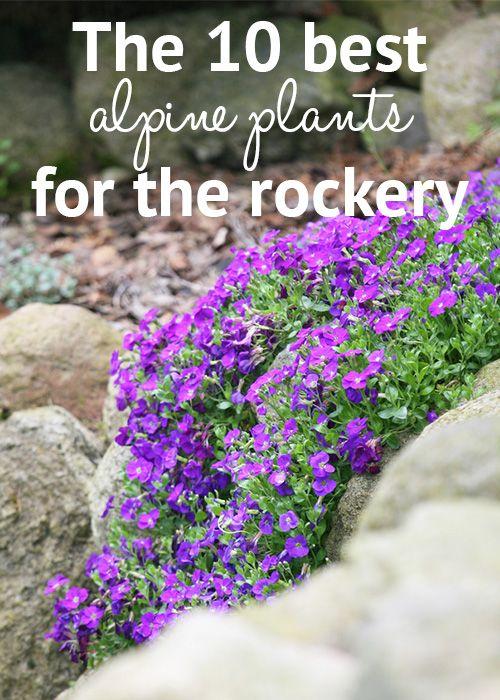 die besten 25 alpine pflanzen ideen auf pinterest alpinum steingarten und steingew chse. Black Bedroom Furniture Sets. Home Design Ideas