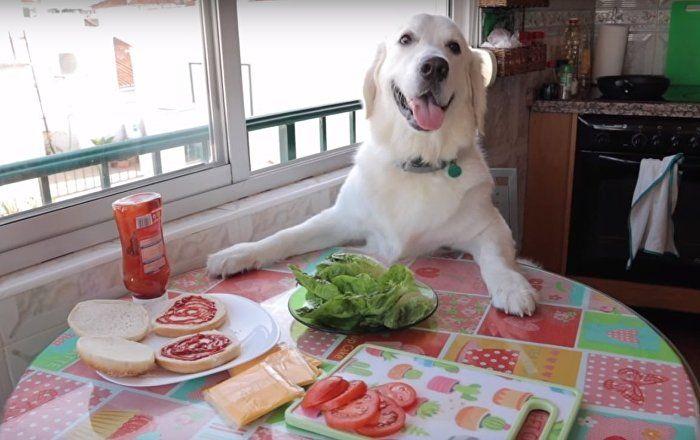 Doggie Dinner Time Golden Retriever Makes Hamburger How