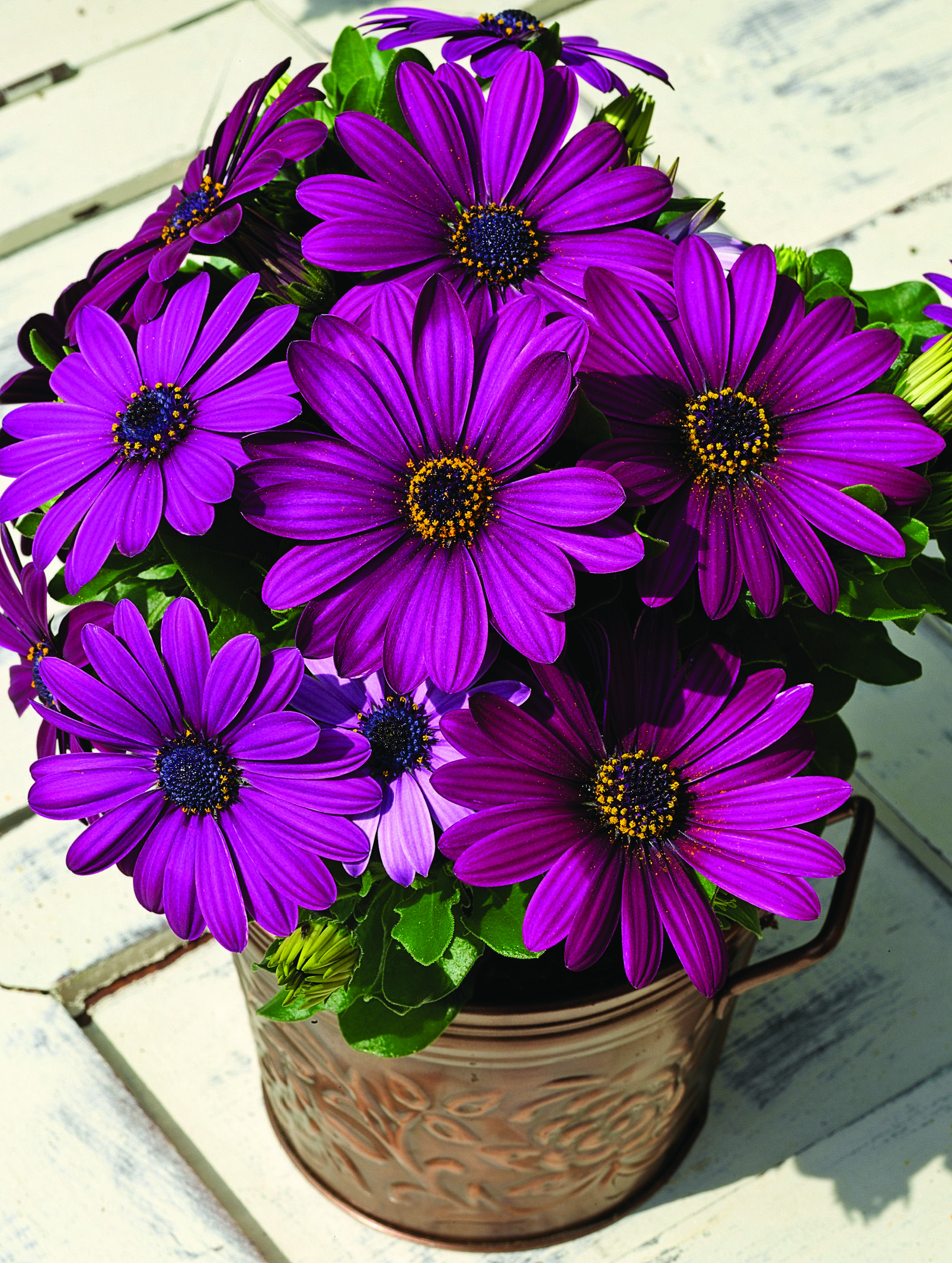 Osteospermum asti purple an upright compact plant with simple they produce lots of really bright flowers that attract lots of bees for pollination of all my vegetables on my deck container izmirmasajfo Choice Image