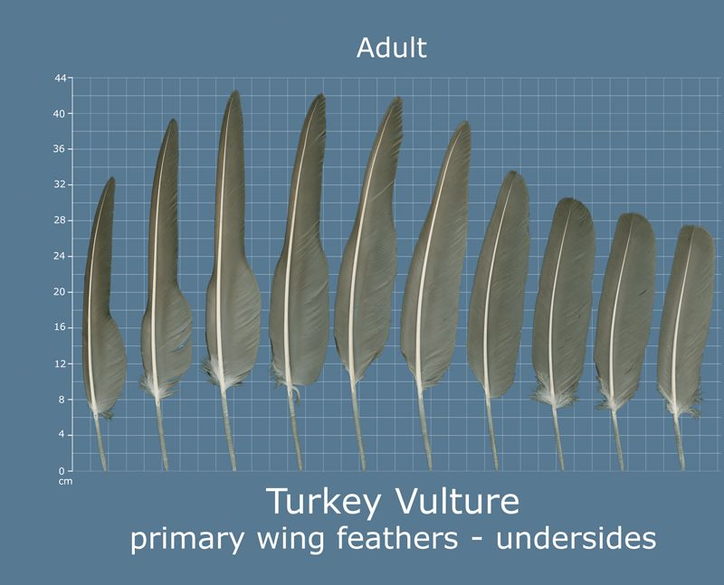 17++ Vulture feathers info