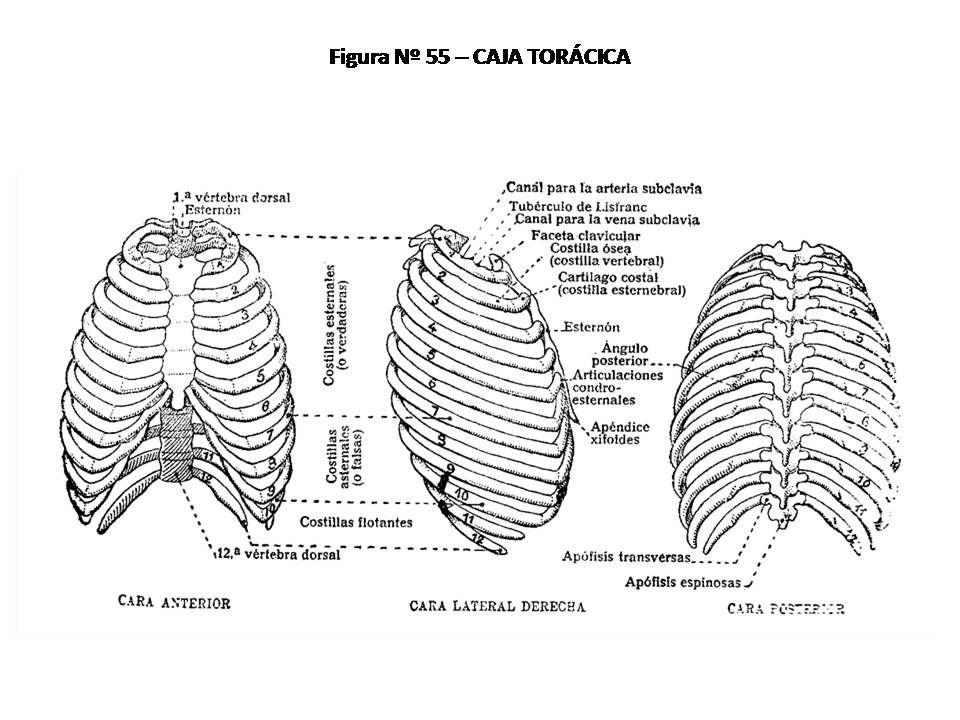 Magnífico Caja De Tabaco Anatomía Ideas - Anatomía de Las ...