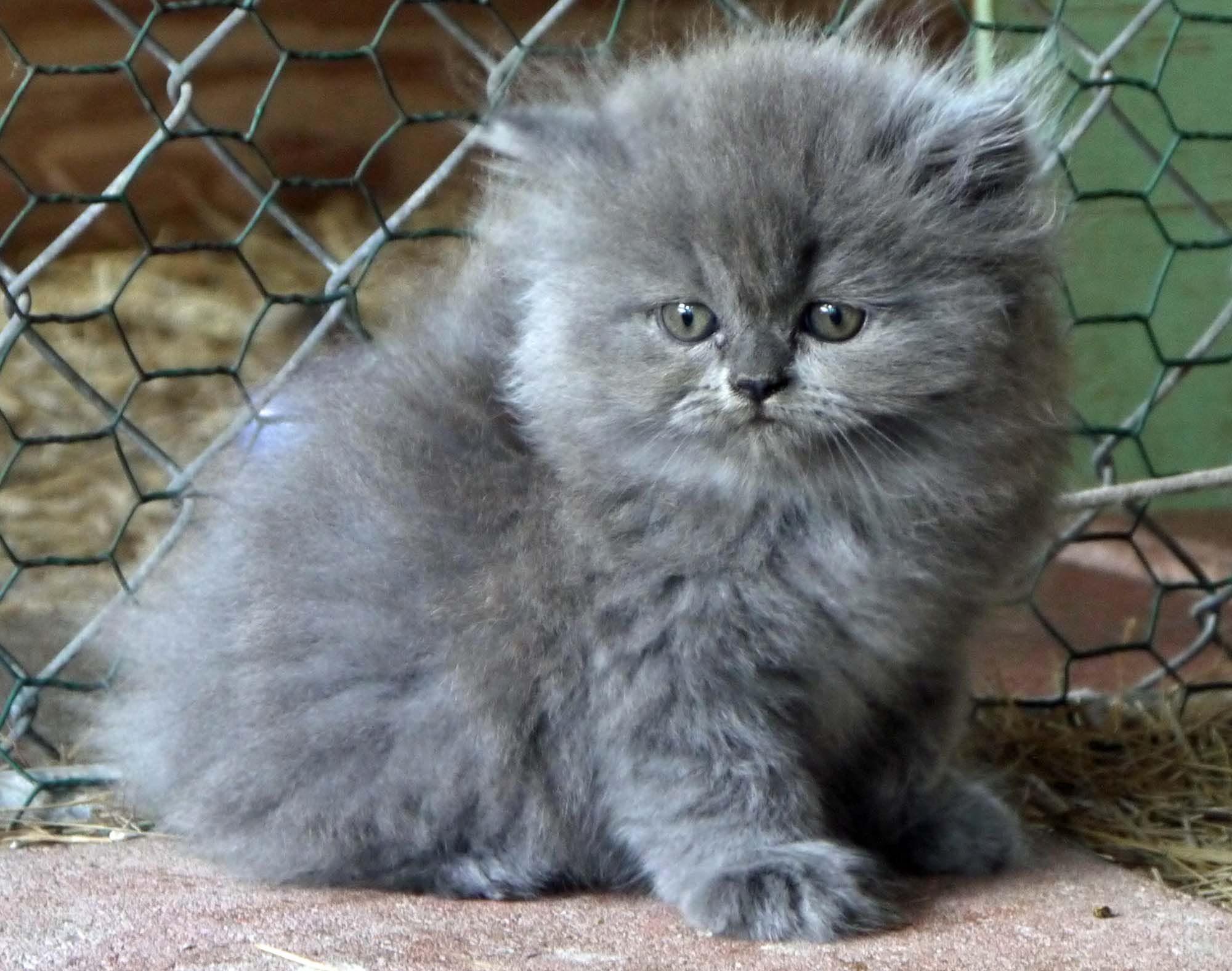 Grey Kitten Amy Grey Kitten Cute Cats And Dogs Cats