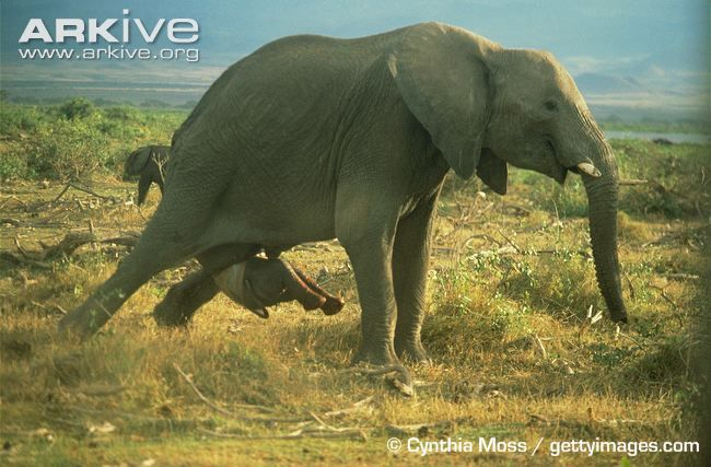 African elephant giving birth. Guess this lets junior know that this world is not for wimps.  Wow.  What a jolt.