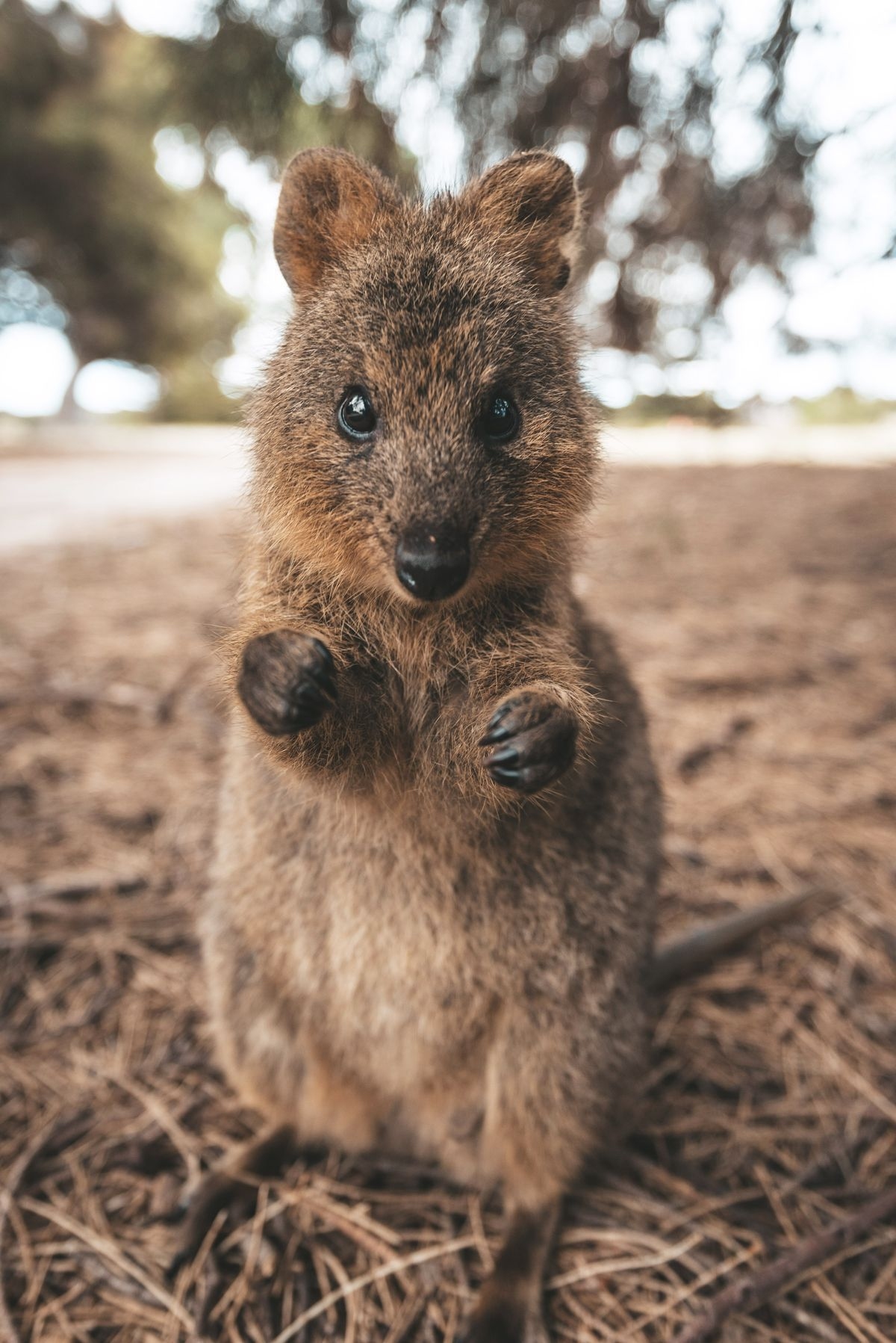 Up close with an adorably aggressive wild quokka on