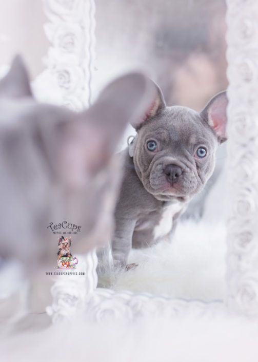 lilac-tan-french-bulldog-puppy-for-sale-teacup-puppies-370-e #cuteteacuppuppies lilac-tan-french-bulldog-puppy-for-sale-teacup-puppies-370-e #cuteteacuppuppies