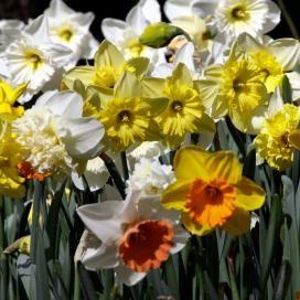 Daffodil bulbs for sale buy flower bulbs in bulk save plants daffodil bulbs for sale buy flower bulbs in bulk save mightylinksfo