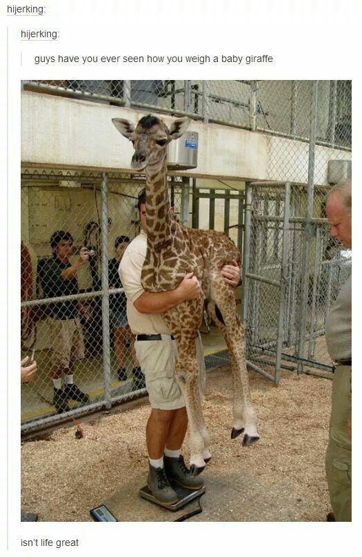 Weighing Baby Giraffe : weighing, giraffe, Weighing, Giraffe, Giraffe,, Funny, Animals