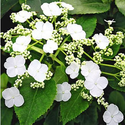 kletterhortensie hydrangea petiolaris kletterhortensie. Black Bedroom Furniture Sets. Home Design Ideas