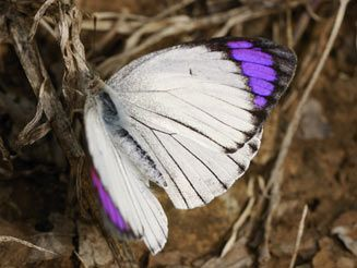Image result for bushveld purple tip butterfly