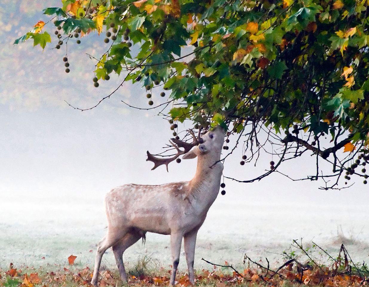 White stag in Oxford