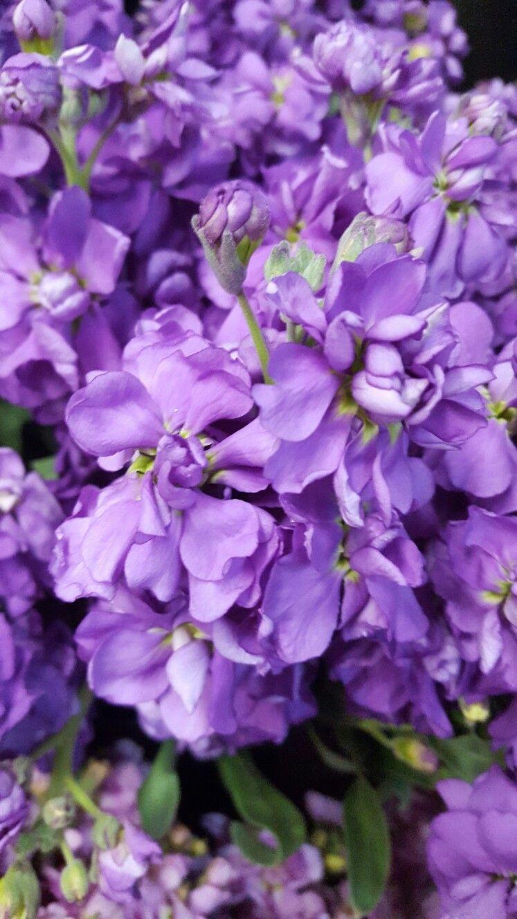 Petunia Surfinia Heavenly Blue Petunias Backyard Design