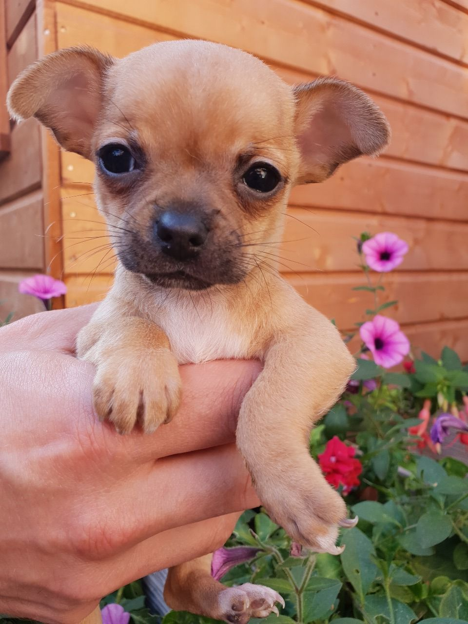 Chihuahua Puppies For Sale Uptown Tx Chihuahua Puppies For