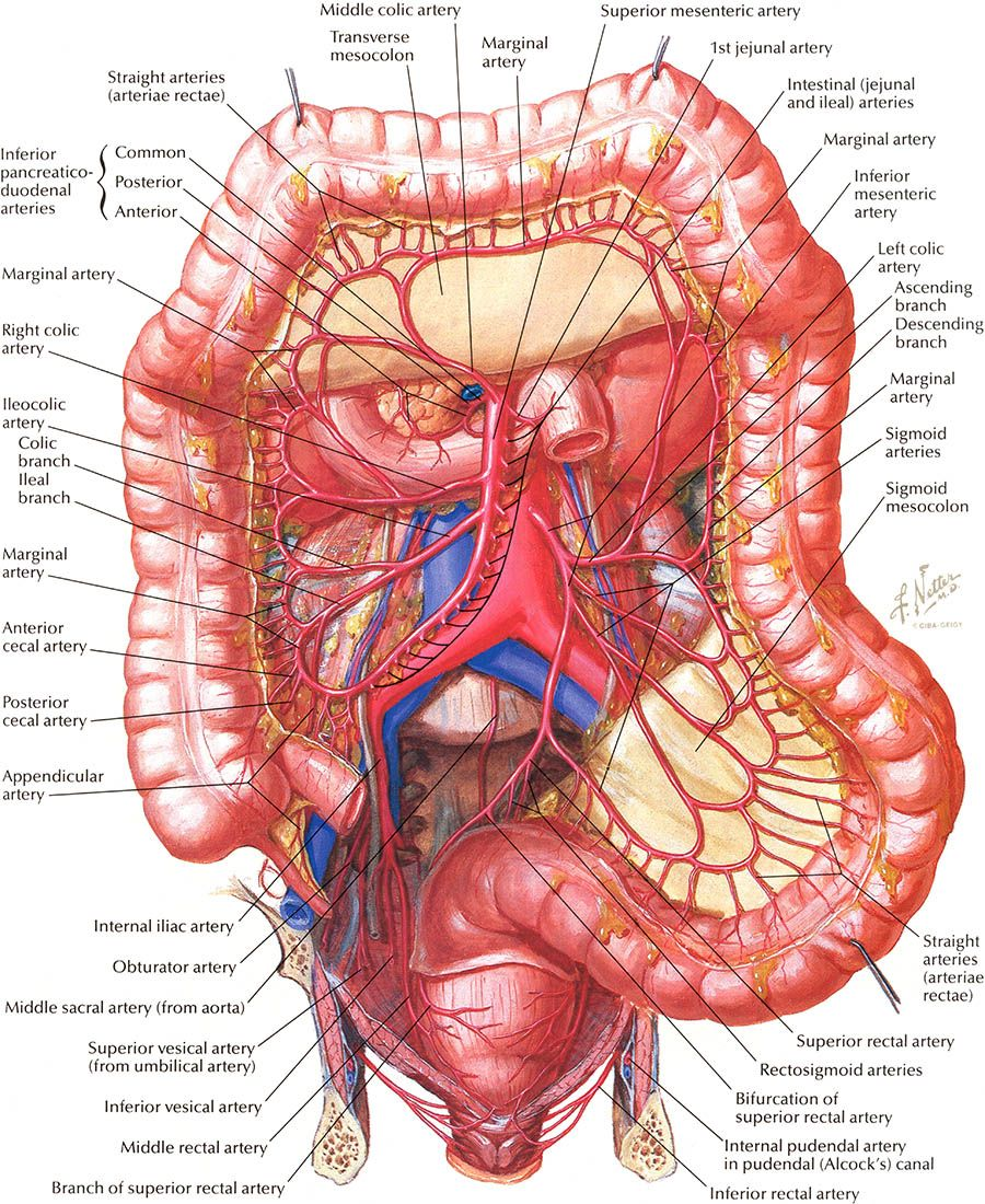 Arteries Of Large Intestine Frank Netterestinelgg 900