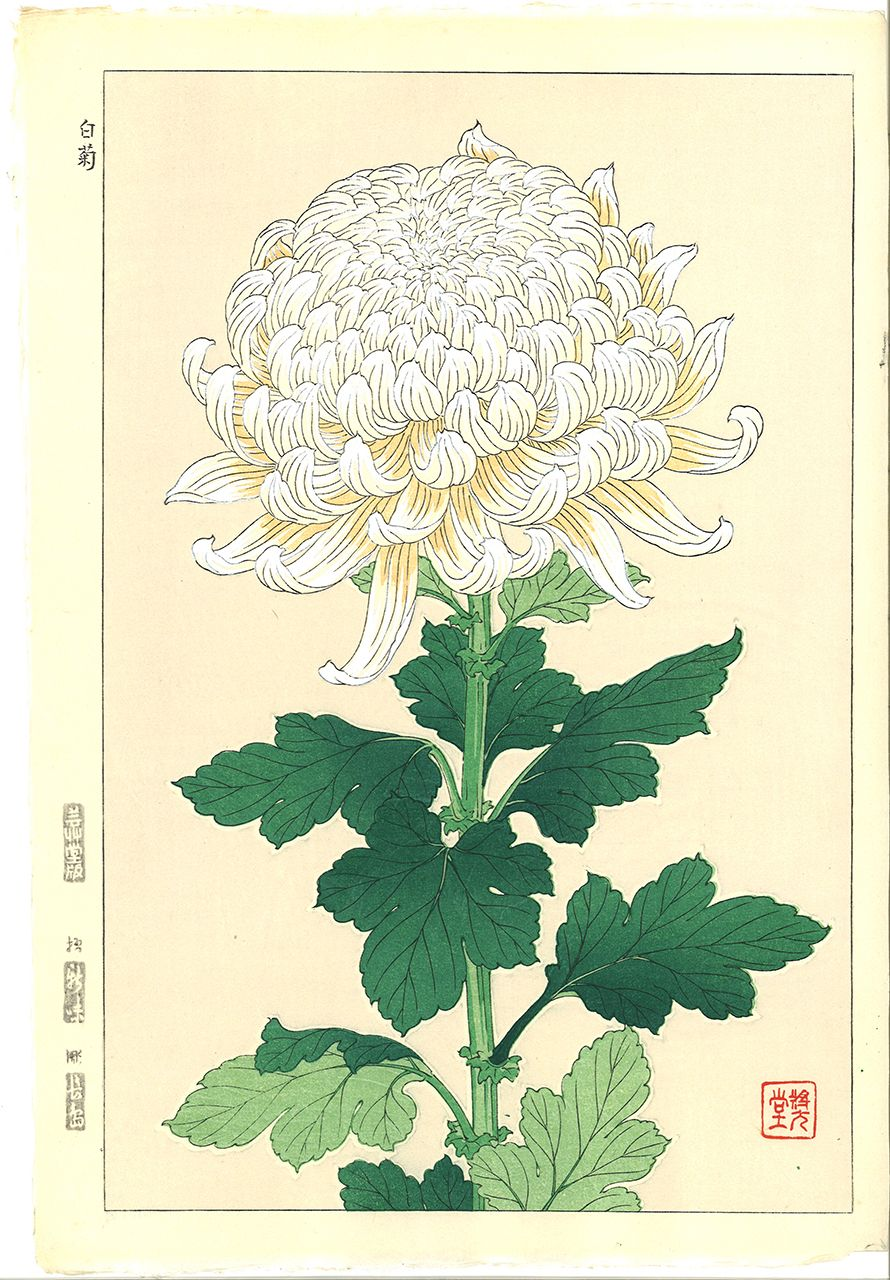 Kawarazaki Shodo F34 Shiragiku White Chrysanthemum Free Shipping 菊 イラスト ボタニカルプリント 植物のスケッチ
