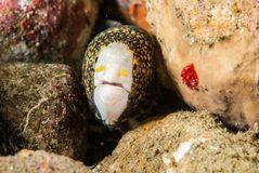 Shock snowflake moray eel in Ambon, Maluku, Indonesia underwater