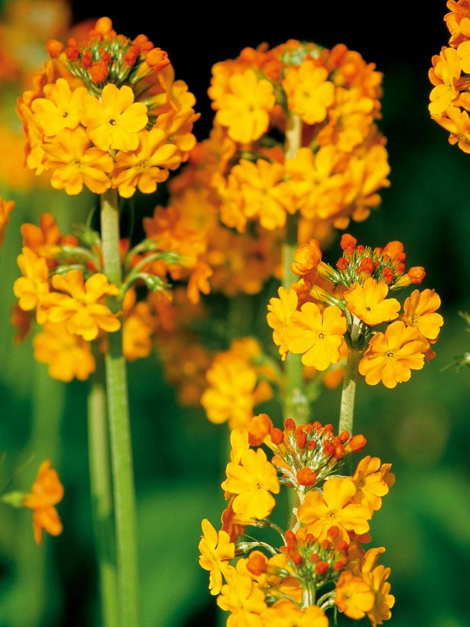 Best Yellow Annual Flowers For Your Garden Flowers Pinterest
