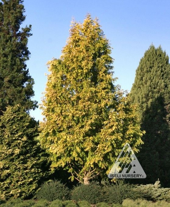 Metasequoia glyptostroboides 'Gold Rush':  Fast-growing, pyramidal conifer has soft fern-like gold foliage. In spring, the needles emerge nearly chartreuse yellow and keep their color well into summer, then turn orange brown in fall before dropping. Deeply fissured bark provides winter interest.