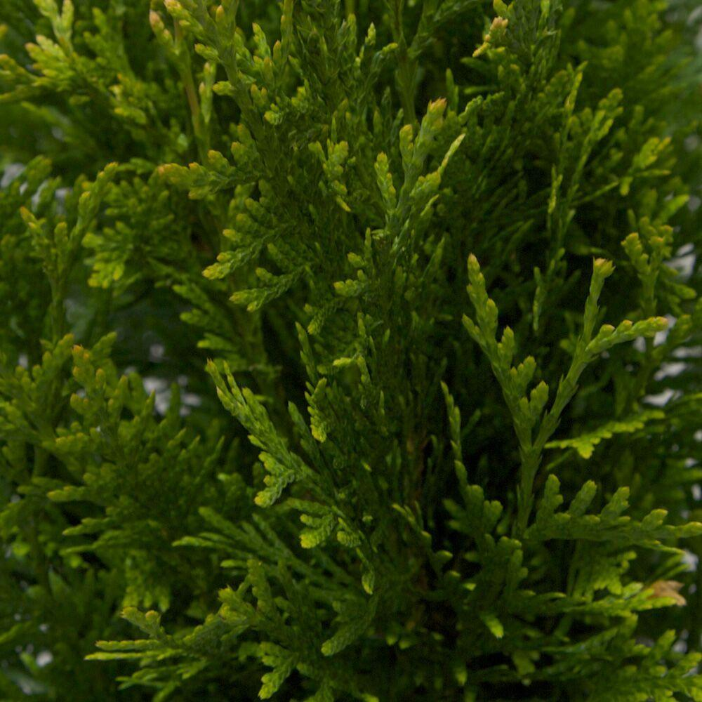9.25 in. Pot - Green Giant Arborvitae (Thuja) Tree/Shrub ...