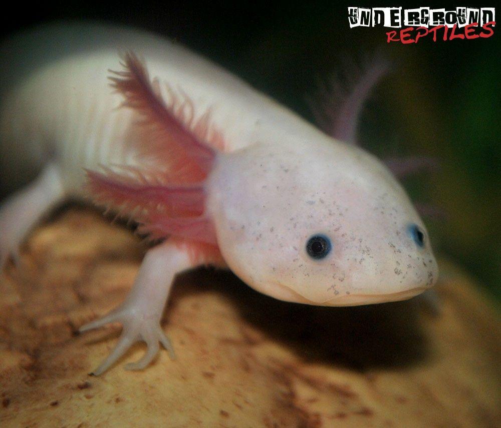 Leucistic Axolotl Underground reptiles, Axolotl, Amphibians