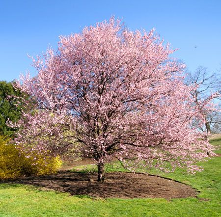 Kwanzan Cherry Tree Flowering Cherry Tree Fast Growing Trees Pink Flowering Trees