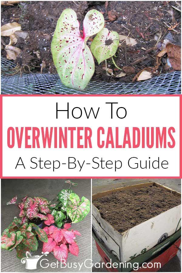 Photo of How To Overwinter Caladium Bulbs (Winter Care Tips)