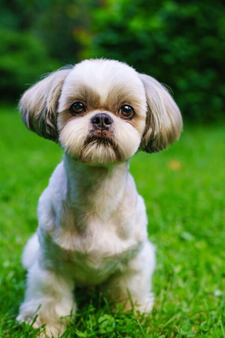 Shih Tzu Dog With Short Haircut Portrait On Green Lawn Background Shihtzu Shih Tzu Puppy Shih Tzu Dog Shih Tzu