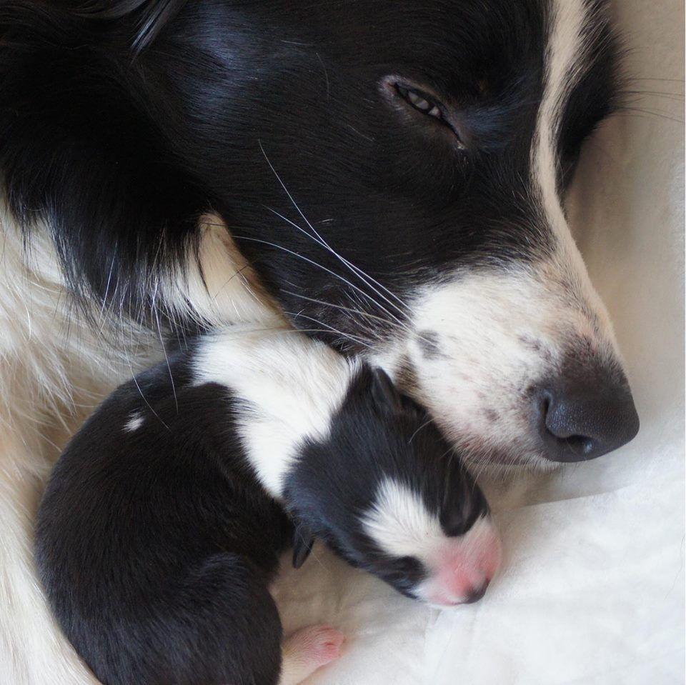 Sweet Child Of Mine Collie Puppies Collie Dog Border Collie Lover