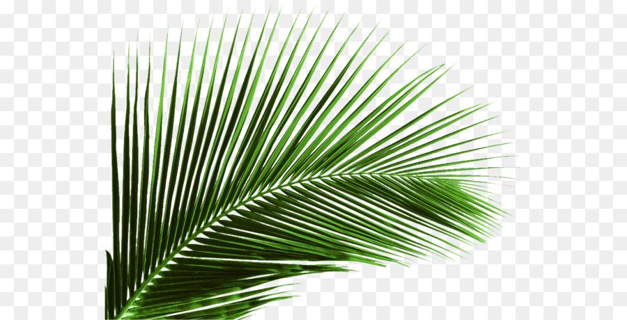 Arecaceae Leaf Plant Areca Palm Coconut Coconut Leaves Png Download 600 460 Free Transparent Arecaceae Png Download